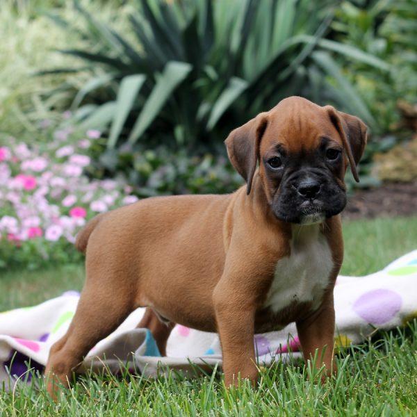 Boxer En Perfekt Brukshund F 246 R Barnfamiljen